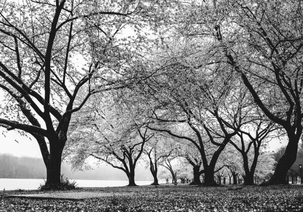 cherry blossoms trees poster